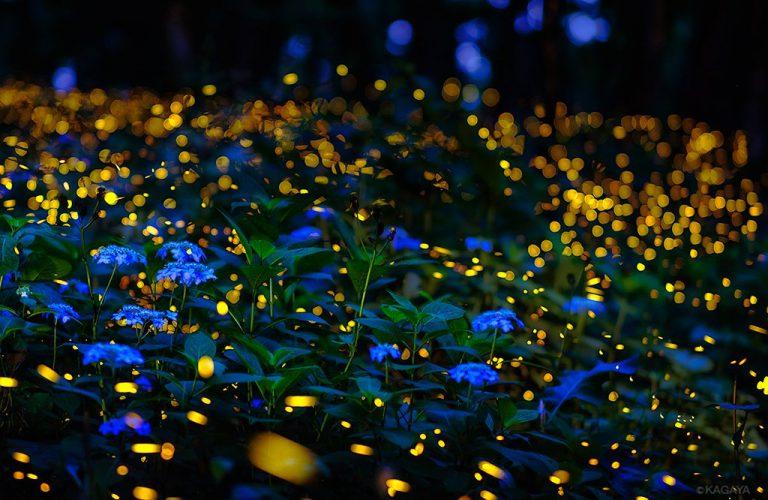 夏の夜を彩るホタルと紫陽花♪KAGAYA写真集更新です☆